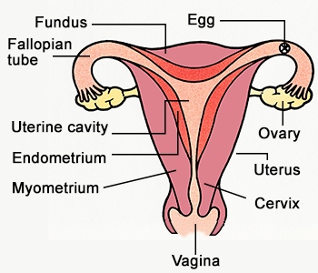 labelled diagram of female sex organs in Gilbert