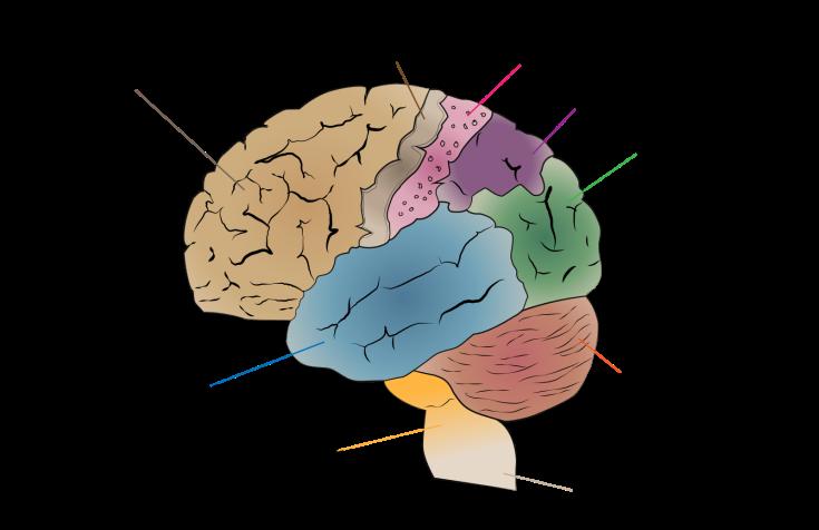 Cerebrum_lobes.svg