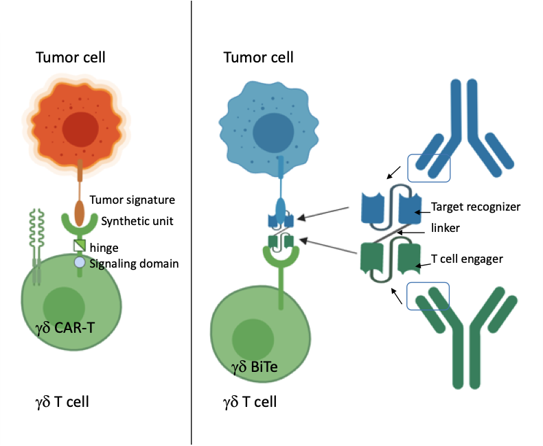 Sneaking Into The Non Conventional Niches Using Gamma Delta T Cells To Fight Cancer Oncobites