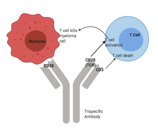 Trispecific Antibody Usually Created By Using Variable